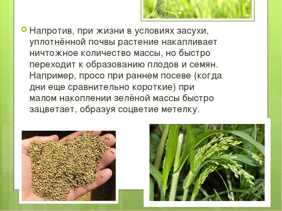 Напротив, при жизни в условиях засухи, уплотнённой почвы растение накапливает...