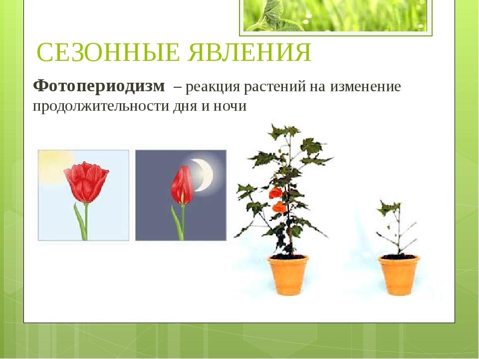 Фотопериодизм – реакция растений на изменение продолжительности дня и ночи СЕ...