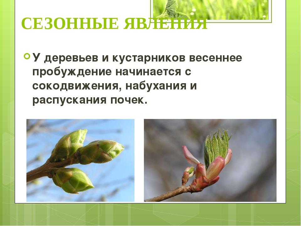 У деревьев и кустарников весеннее пробуждение начинается с сокодвижения, набу...