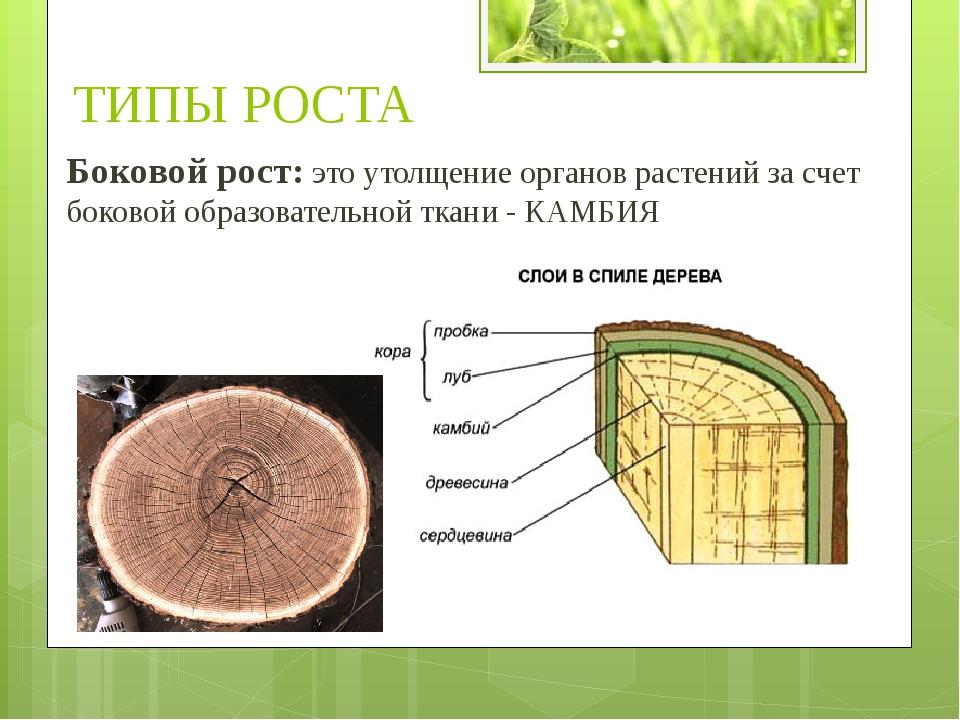 Боковой рост: это утолщение органов растений за счет боковой образовательной...