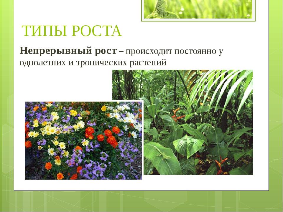 Непрерывный рост – происходит постоянно у однолетних и тропических растений Т...