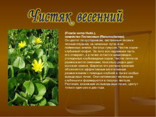 (Ficaria verna Huds.), семейство Лютиковые (Ranunculaceae). Он цветет по куст
