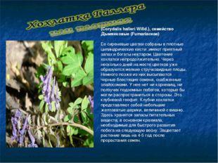 (Corydalis halleri Willd.), семейство Дымянковые (Fumariaceae)  Ее сиреневые