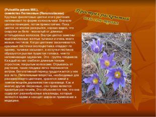 (Pulsatilla patens Mill.), семейство Лютиковые (Ranunculaceae) Крупные фиоле