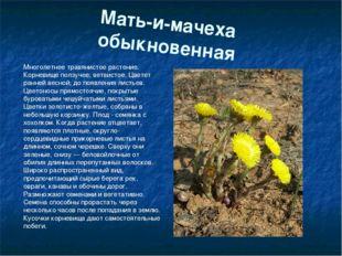 Мать-и-мачеха обыкновенная Многолетнее травянистое растение. Корневище ползуч