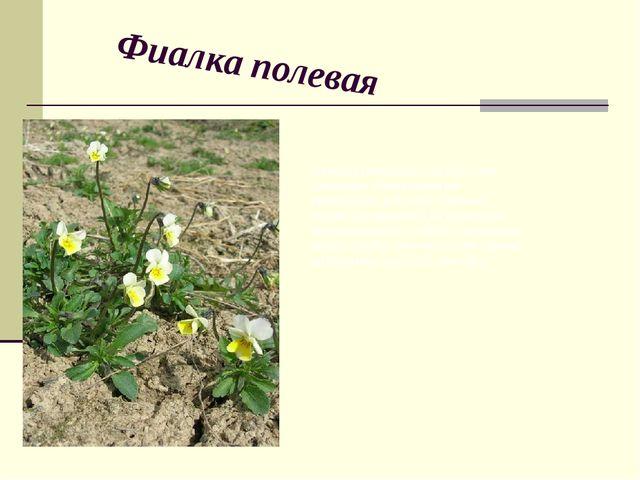 Фиалка полевая Самоопыляющееся однолетнее растение. Самоопыление происходит в...