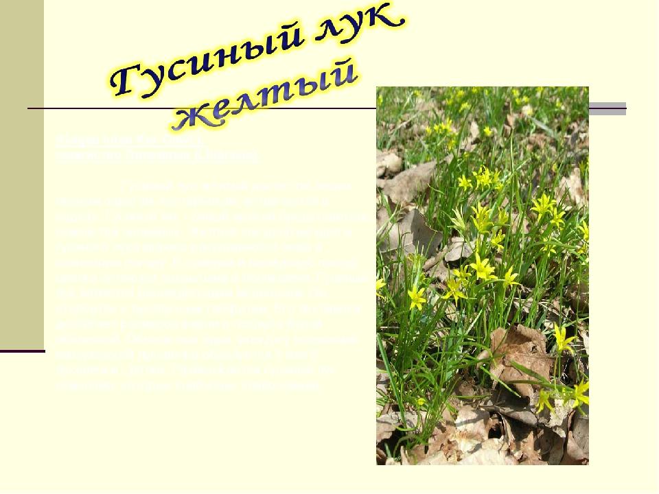 (Gagea lutea Ker-Gawl.), семейство Лилейные (Liliaceae).  Гусиный лук желты...