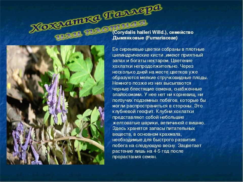 (Corydalis halleri Willd.), семейство Дымянковые (Fumariaceae)  Ее сиреневые...