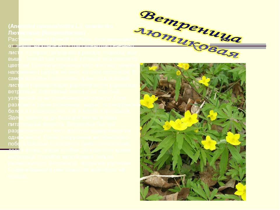 (Anemone ranunculoides L.), семейство Лютиковые (Ranunculaceae) Растение имее...