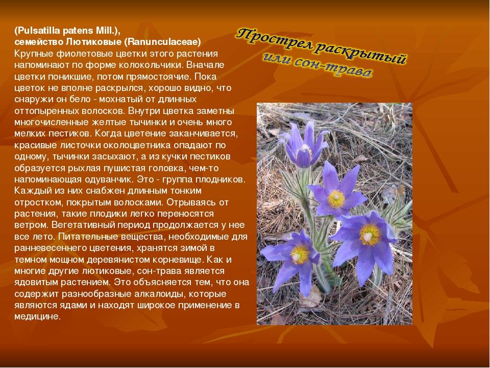 (Pulsatilla patens Mill.), семейство Лютиковые (Ranunculaceae) Крупные фиоле...