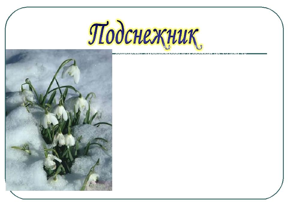 Род подснежников (Galanthus) относится к семейству Амариллисовых и состоит из...