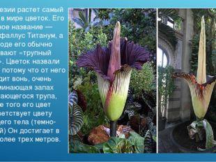 В Индонезии растет самый крупный в мире цветок. Его научное название — Аморфо