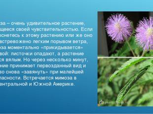 Мимоза – очень удивительное растение, отличающееся своей чувствительностью. Е