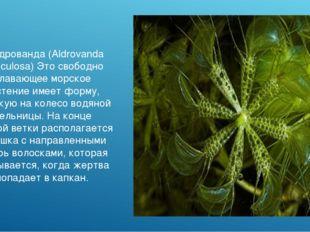 Альдрованда (Aldrovanda Vesiculosa) Это свободно плавающее морское растение и