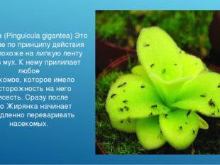 Жирянка (Pinguicula gigantea) Это растение по принципу действия очень похоже