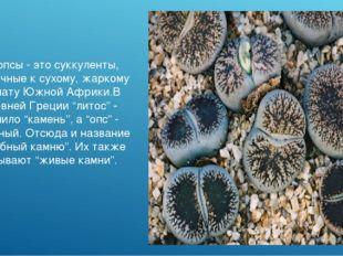 Литопсы - это суккуленты, привычные к сухому, жаркому климату Южной Африки.В