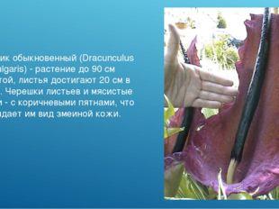 Аронник обыкновенный (Dracunculus vulgaris) - растение до 90 см высотой, лист
