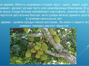 Хлебное дерево. Мякоть созревших плодов пекут, сушат, варят, едят сырой, заса
