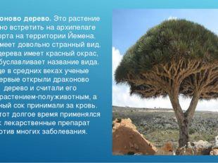 Драконово дерево. Это растение можно встретить на архипелаге Сокорта на терри