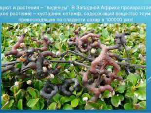 """Существуют и растения – """"леденцы"""". В Западной Африке произрастает самое сладк"""