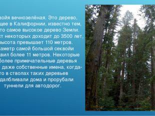 Секвойя вечнозелёная. Это дерево, растущее в Калифорнии, известно тем, что эт