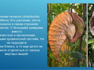 Растение-пеликан (Aristolochia grandiflora) Это растение, почти прекрасно в с