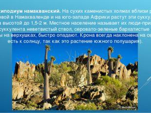 Пахиподиум намакванский. На сухих каменистых холмах вблизи реки Оранжевой в Н