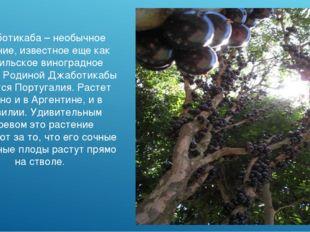Джаботикаба – необычное растение, известное еще как бразильское виноградное д