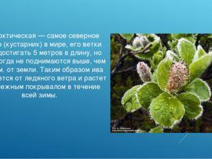 Ива арктическая — самое северное дерево (кустарник) в мире, его ветки могут д