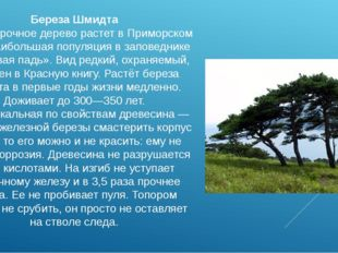 Береза Шмидта Самое прочное дерево растет в Приморском крае, наибольшая попул