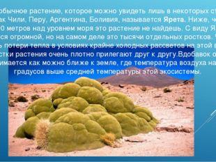 Это необычное растение, которое можно увидеть лишь в некоторых странах, таких