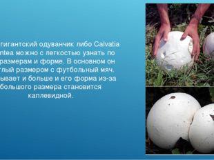Гриб гигантский одуванчик либо Calvatia gigantea можно с легкостью узнать по