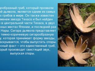 Звездообразный гриб, который прозвали Сигарой дьявола, является одним из самы