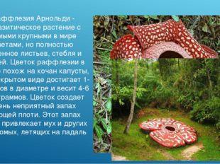 Раффлезия Арнольди - паразитическое растение с самыми крупными в мире цветами