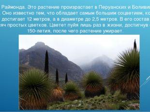 Пуйя Раймонда. Это растение произрастает в Перуанских и Боливийских Альпах. О
