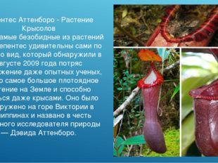Непентес Аттенборо - Растение Крысолов Даже самые безобидные из растений вида