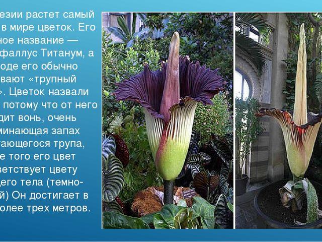 В Индонезии растет самый крупный в мире цветок. Его научное название — Аморфо...