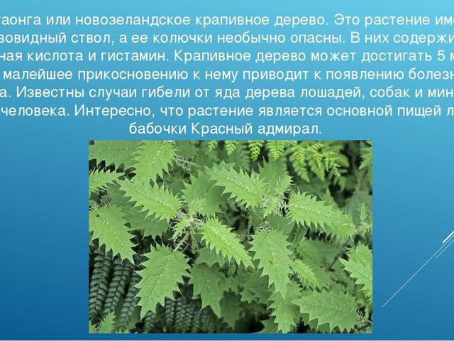 Онгаонга или новозеландское крапивное дерево. Это растение имеет древовидный...