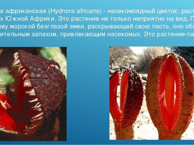 Гиднора африканская (Hydnora africana) - насекомоядный цветок, растущий в пус...