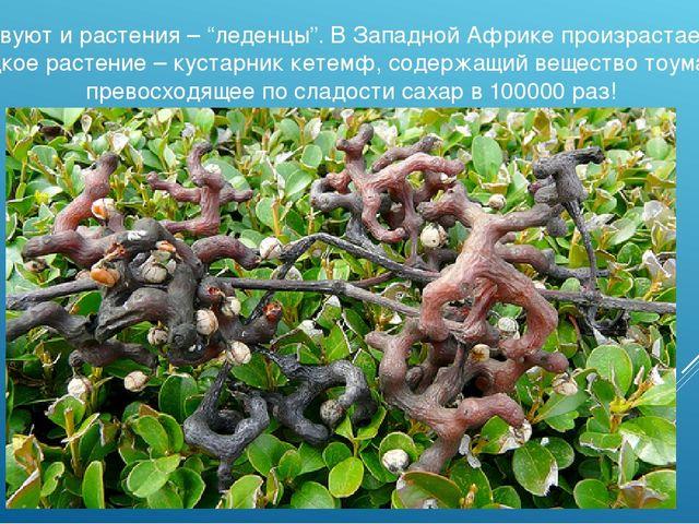 """Существуют и растения – """"леденцы"""". В Западной Африке произрастает самое сладк..."""