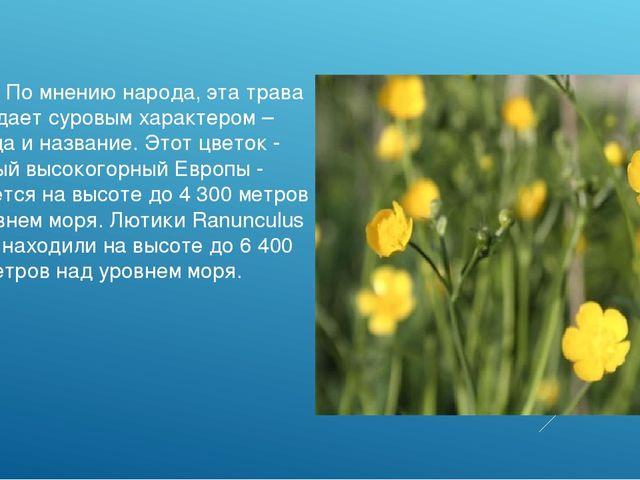 Лютики. По мнению народа, эта трава обладает суровым характером – отсюда и на...