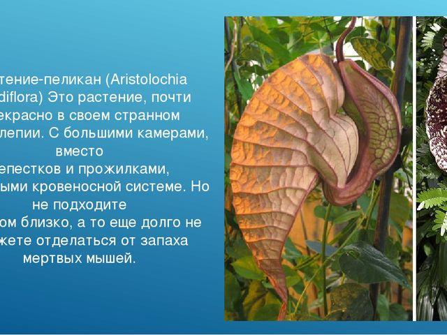 Растение-пеликан (Aristolochia grandiflora) Это растение, почти прекрасно в с...