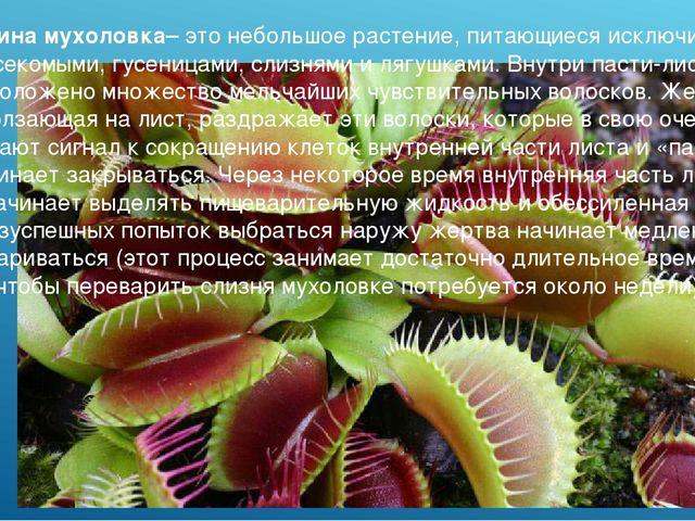 Венерина мухоловка– это небольшое растение, питающиеся исключительно насекомы...