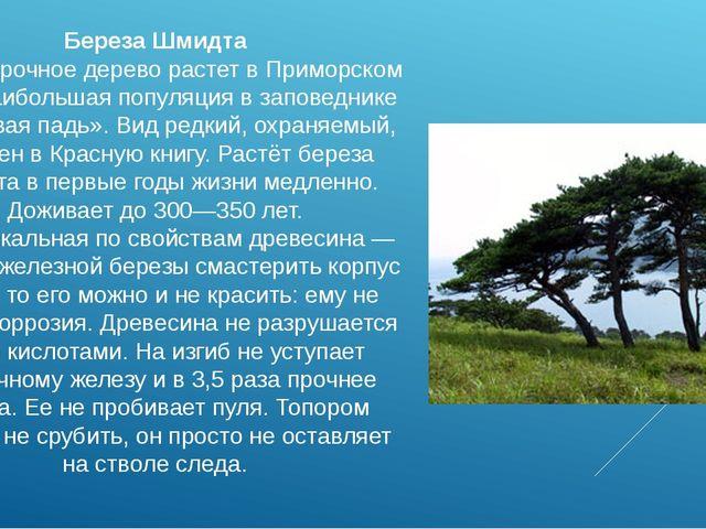 Береза Шмидта Самое прочное дерево растет в Приморском крае, наибольшая попул...