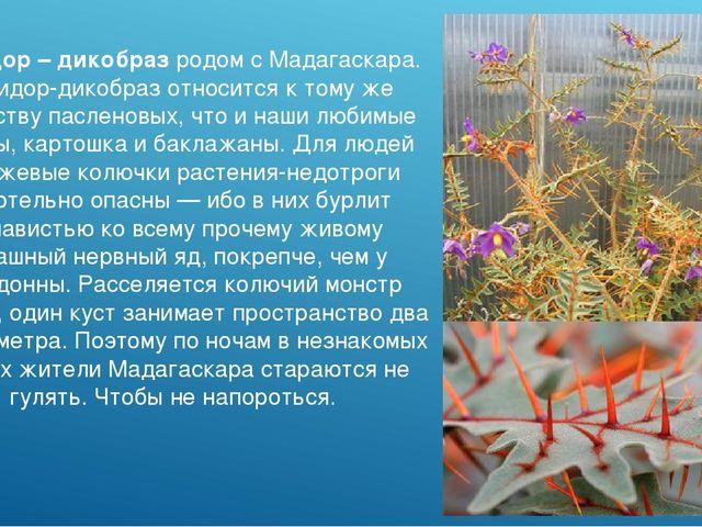 Помидор – дикобраз родом с Мадагаскара. Помидор-дикобраз относится к тому же...