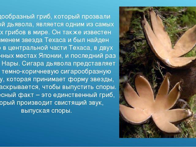 Звездообразный гриб, который прозвали Сигарой дьявола, является одним из самы...