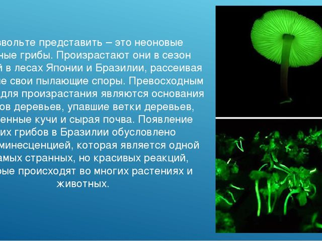Позвольте представить – это неоновые зеленые грибы. Произрастают они в сезон...