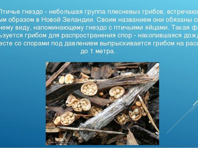 Гриб Птичье гнездо - небольшая группа плесневых грибов, встречающихся главным...