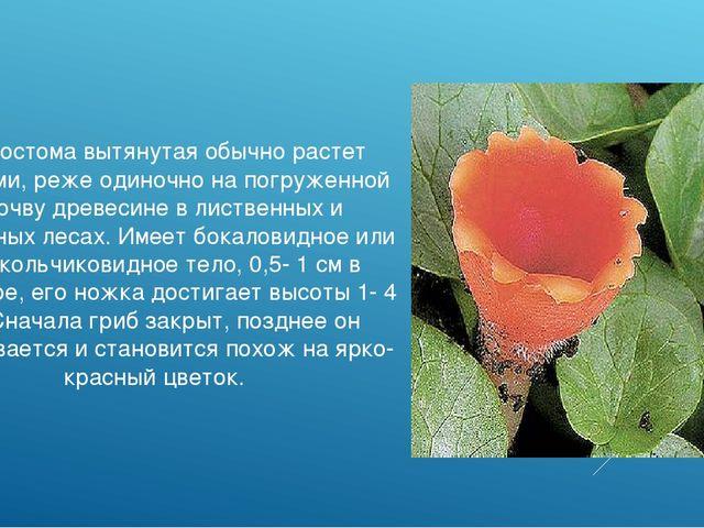 Микростома вытянутая обычно растет группами, реже одиночно на погруженной в п...