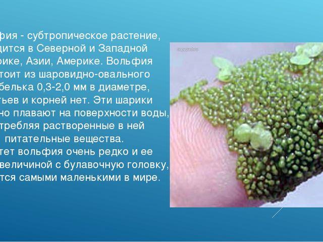 Вольфия - субтропическое растение, водится в Северной и Западной Африке, Азии...